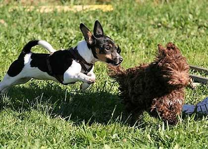 Kleinhundespielgruppe